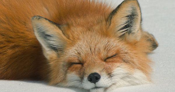 theanimalblog: Sleeping Fox. Photo by Les Piccolo fox wild animal animalphotography