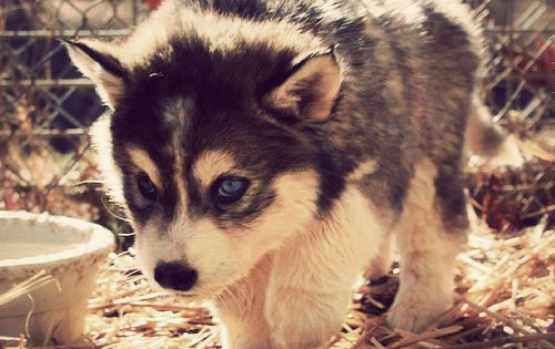 siberian husky puppy my next dog. ❤️