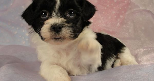 Black And White Shih Tzu Puppy Sitting Shih Tzu Shih Tzu Puppy