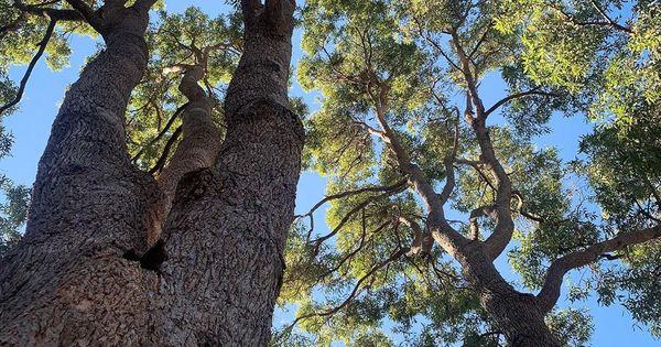 Trees Of Sydney On Instagram Angophora Floribunda Rough Barked Apple Angophorafloribunda Roughbarkedapple Angophora Eucalyp Tree Myrtaceae Instagram