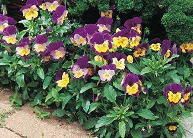 Hornvioler Kan Plantes I Krukker I Det Tidlige Forar Med Billeder Planter Blomster Forar