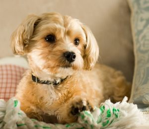 Facts About The Shih Tzu Yorkie Mix Breed Dog Mixed Breed Dogs Yorkie Mix Yorkie Shih Tzu Mix