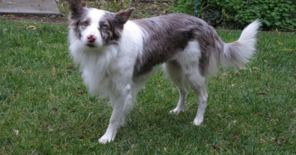 Allie 31 Pound 4 Yrs Old Red Merle Border Collie Unlike Most Border Collies She Has An Off Switch Best In A Singl Dogs Dog Adoption Red Merle Border Collie