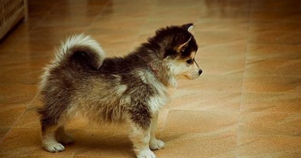 A mini Pomeranian Husky mix? It's so cute I could die.