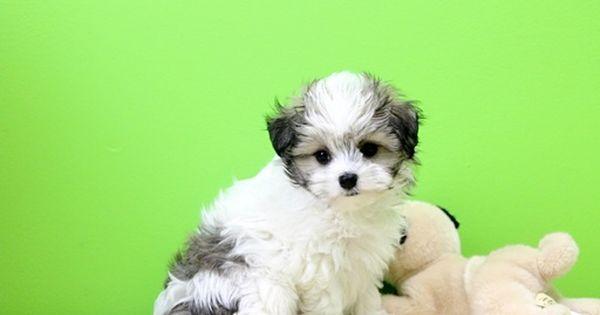 Havamalt Puppy For Sale In Portsmouth Oh Adn 27423 On