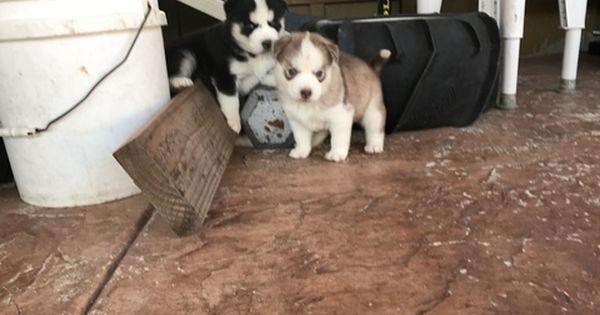 Litter Of 6 Siberian Husky Puppies For Sale In San Diego Ca Adn