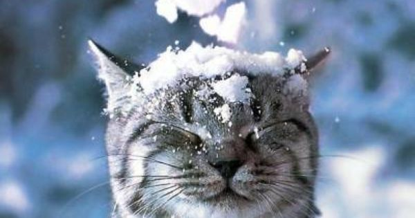 American Shorthair Cat Images