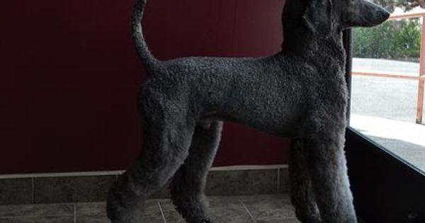 Pawsh Ch Skyler Cat And Dog Photos Poodle Dog Black Standard Poodle