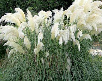 Pink Pampas Grass Seeds White Pampas Grass Seeds Cortaderia Etsy Pink Pampas Grass Pampas Grass Seed Pampas Grass