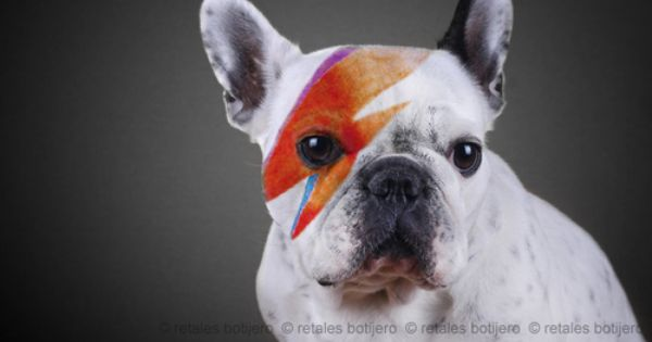 Tumblr French Bulldog David Bowie Pictures Cute Pictures