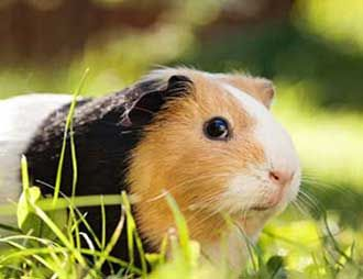 Pin On Best Guinea Pig Tips