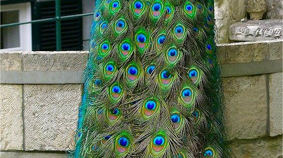 Beautiful peacock feathers. What a beautiful creature God made!
