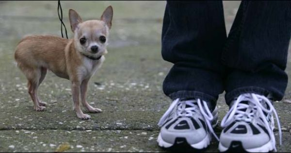 Heaven Sent Brandy Is World S Tiniest Dog Dogs Chihuahua