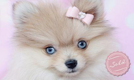 Blue Eyed Pomeranian Puppy By