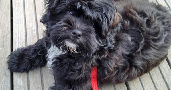 Chewy The Shih Tzu Mix Puppy Breed Poodle Shih Tzu Reminds Me Of Pepper Puppy Breeds Shih Tzu Shih Tzu Poodle