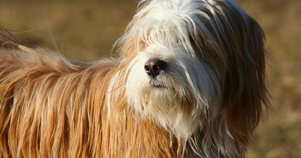 The Tibetan Terrier Is A Medium Size Breed Of Dog Originated In Tibet Monks And Families Referred To The Ancient Breed Tibetan Terrier Terrier Terrier Puppies