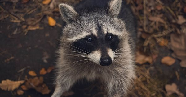 As More Houses Go Up And Trees Come Down Raccoons And Their Babies Rely More On Humans For Shelter And Food They Have Adapted Qu Raccoon Animals Wild Animals