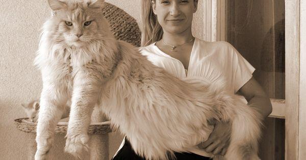 6 Jenis Kucing Ras Terbesar Di Dunia Jenis Kucing Ras