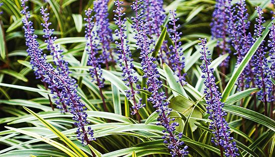Best Perennials for Shade Gardens... Lilyturf (Liriope): An easy-to-grow favorite grassy foliage