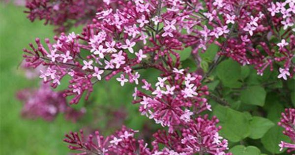 Syringa Bloomerang Dark Purple Reblooming Lilac With Images Lilac Varieties White Flower Farm Lilac Flowers