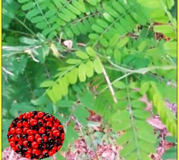 انواع عين العفريت اوعين الديك او قلقل رجائي Abrus قوائم النبات قوائم النبات معلومان عامه معلوماتية Frit Plants