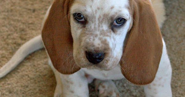 That Awkward Moment When Your Basset Hound Butterscotch Gives