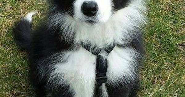 Border Collie Puppies Cute Animals Cute Baby Animals