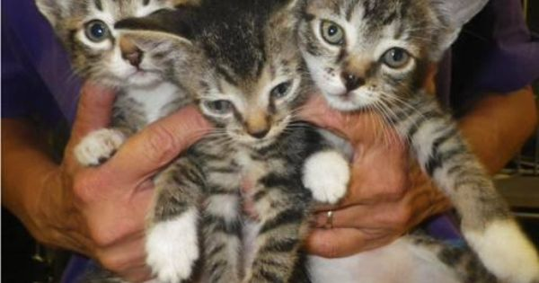 Six Beautiful Kittens Broward Animal Care And Adoption Ft
