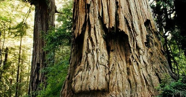 tree face. ENT IT'S AN ENT!!!