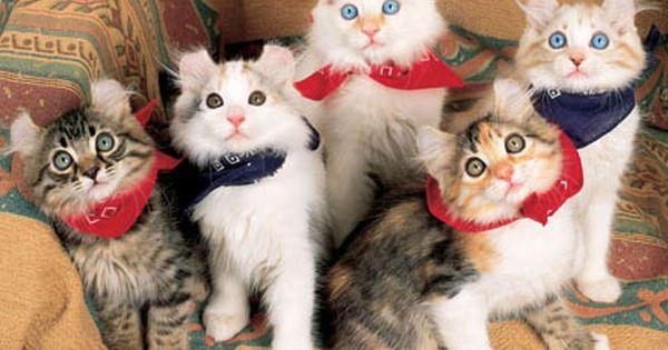 AmericanCurl kitty! Look at their ears!