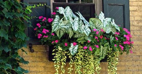 Window Box With 1 Caladium 2 Vinca Illumination And