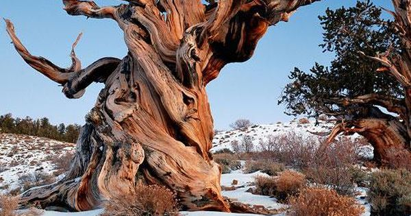 The world's 10 oldest living trees | MNN - Mother Nature Network.
