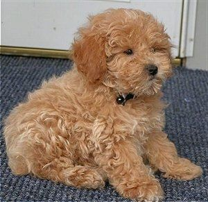 Side View A Tan Miniature Poodle Puppy Is Sitting On A Blue