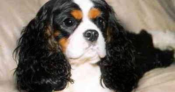 King Akc Ch Winfield 39 S Cotton Royale Cavalier Dog Akc Dog Breeder