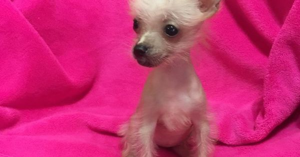 Female Chinese Crested Hairless Teacup In Hoobly Classifieds Chinese Crested Baby Animals Chinese Crested Hairless