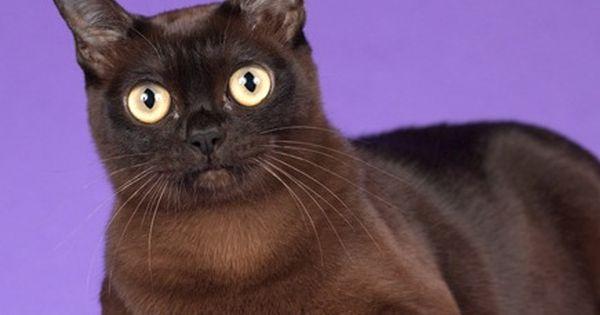 Beautiful Eyes Burmese Cat Cat Breeds Cat Adoption