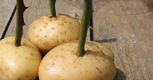 propagating roses with potatoes | Garden | Pinterest ...