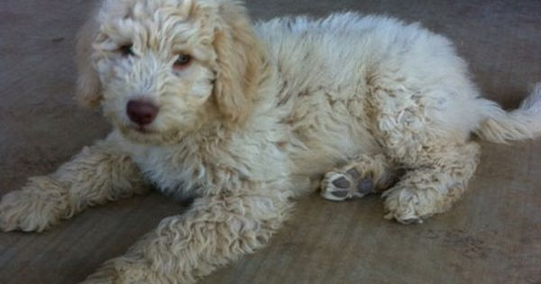 Cream Labradoodle Puppy For Sale Labradoodle Puppy Australian Labradoodle Labradoodle Puppies For Sale