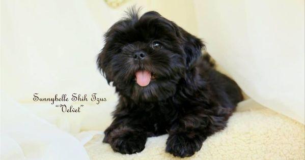 Sunnybelle Shih Tzus In Texas Find Your Shih Tzu Puppy Good Dog In 2020 Shih Tzus Shih Tzu Puppy Shih Tzu