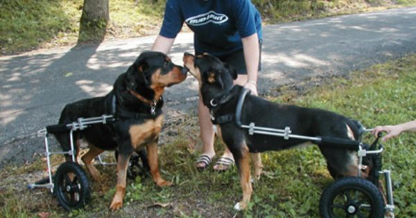 Zeus And Sadie In Their Dog Wheelchairs From Eddie S Wheels Dog
