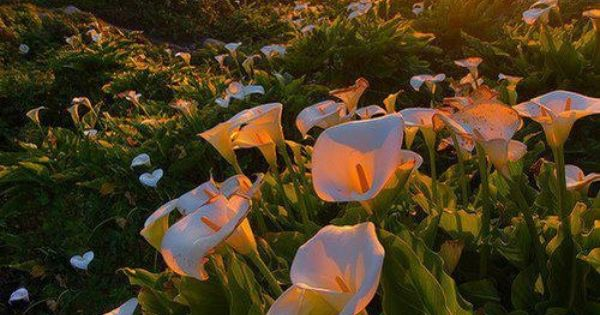 Calla Lily Valley, B Flowers Garden Love Wow! one of the very