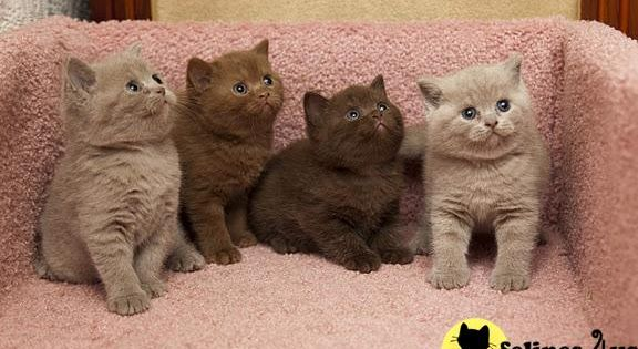 british shorthair cinnamon and chocolate cat perfect