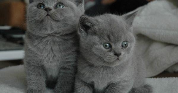 Bric A Brac Picolaine Chats Image Gratuite Sur Pixabay Cats And Kittens British Shorthair Cats Cat Breeds