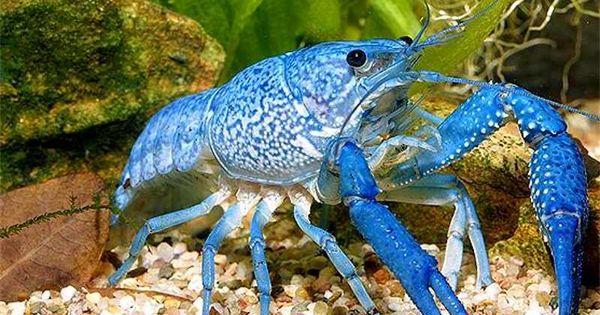 Bottom feeder aquarium fish my aquarium pinterest for Bottom feeder aquarium fish
