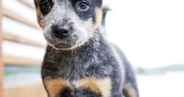 Blue Heeler (Australian Cattle Dog) he is so cute
