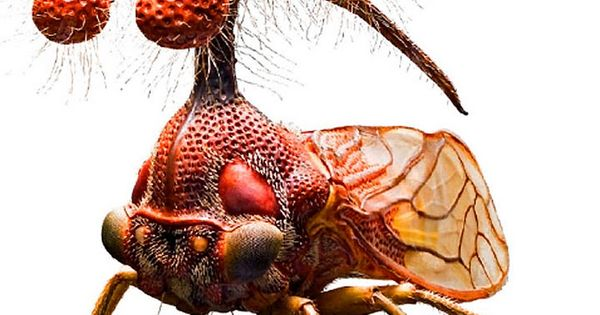 Brazilian Treehopper, or Bocydium globulare - a real living insect, which only