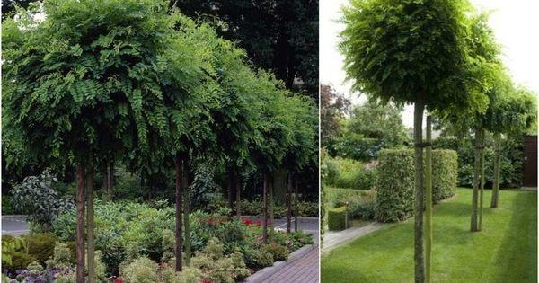 Arbre pour petit jardin les vari t s petit d veloppement petits jardins d veloppement et - Arbre ombrage petit jardin argenteuil ...