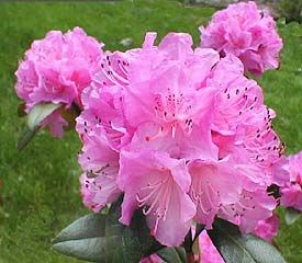 Rhododendron Olga Mezitt Originally Purchased From Lowes Clear
