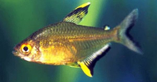 Lemon Tetras Aquarium Fish Neon Tetra Tetra Fish