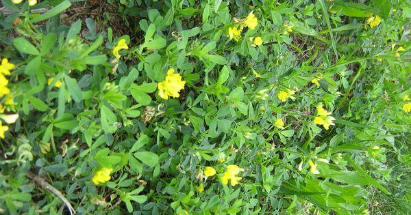 Jadalne Ziola Niezle Ziolko Plants Herbs